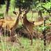 Impalas  (Aepycerus melapus)