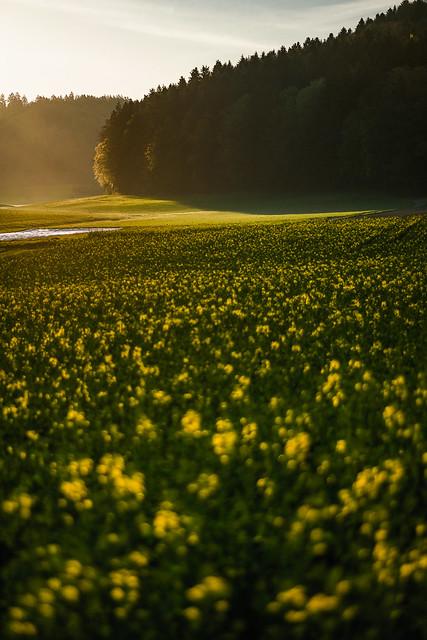 Canola Field @ Sunrise