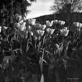 Tulips | by fs999