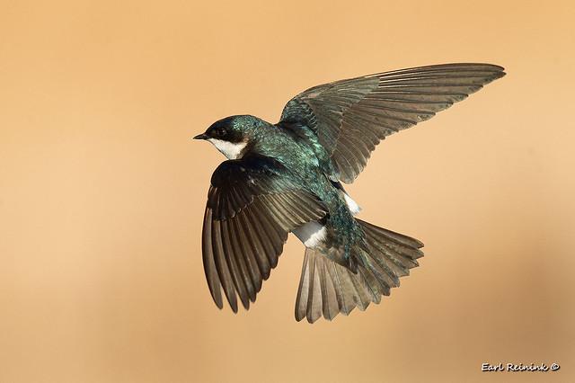 Tree Sparrow display