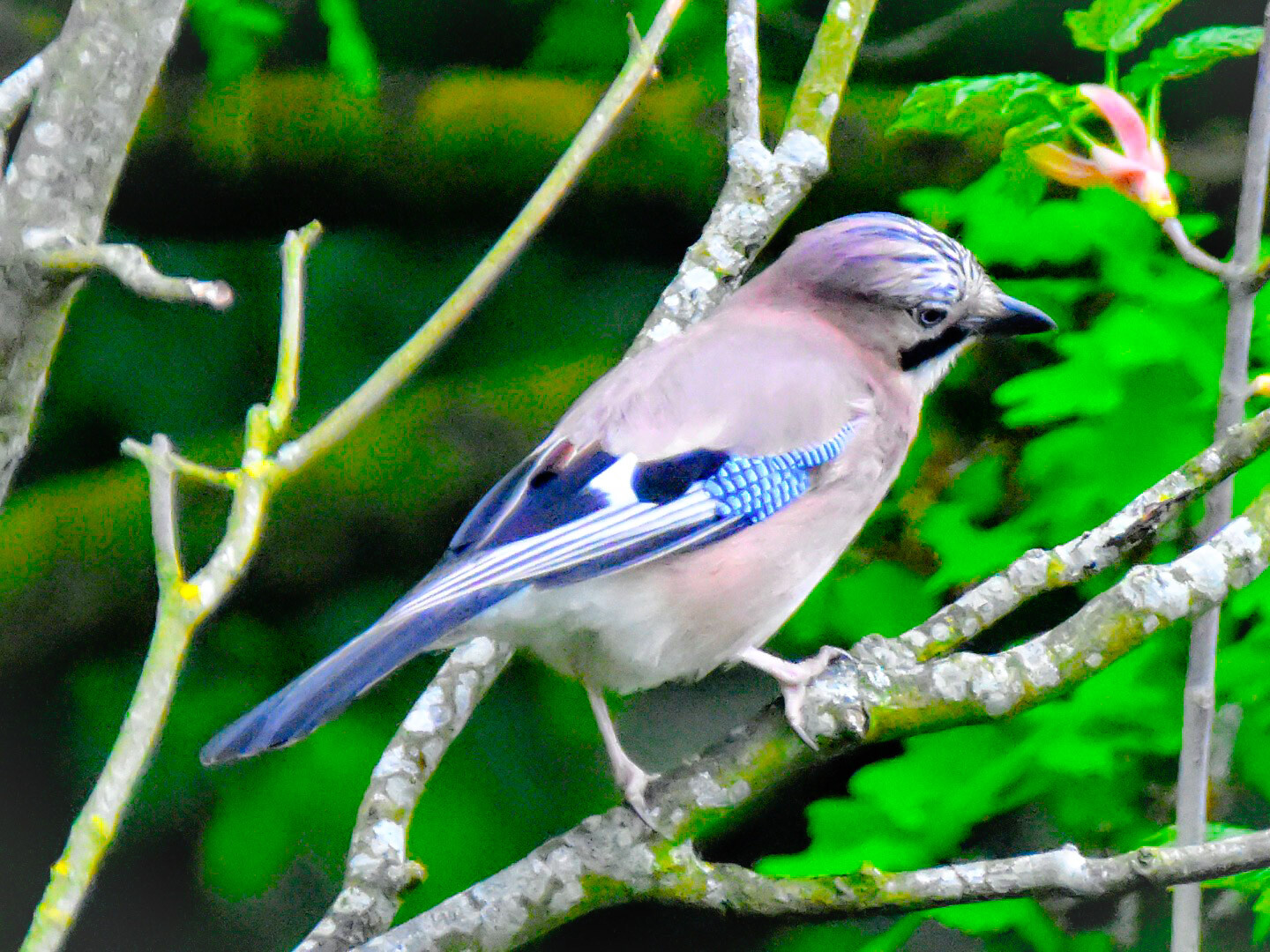 Jay, Peartree Common, Southampton