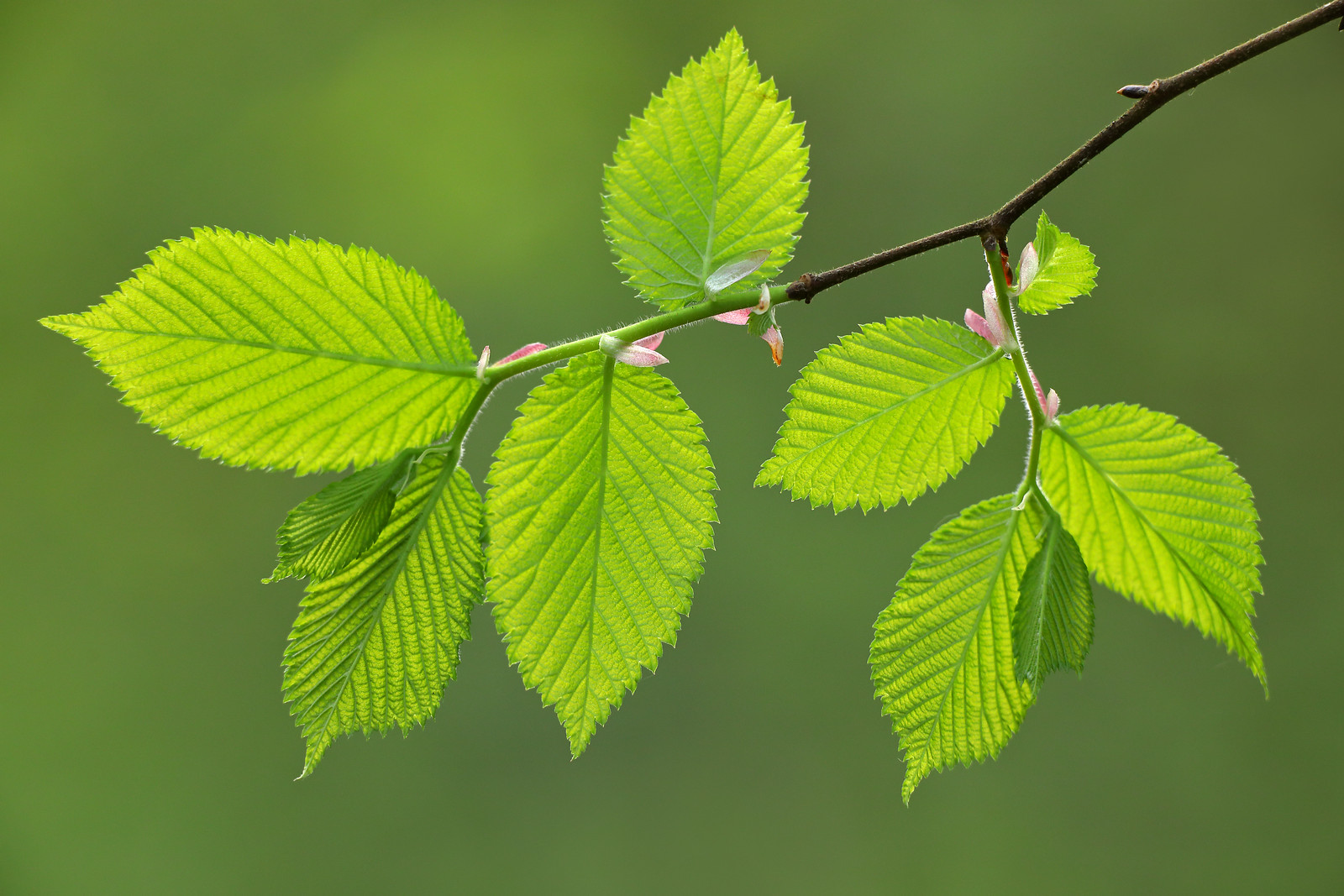 Elm Leaves