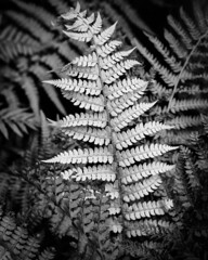 Ferns - April 2020