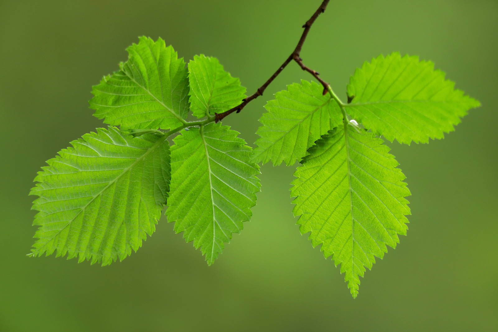 Elm Leaves in Spring