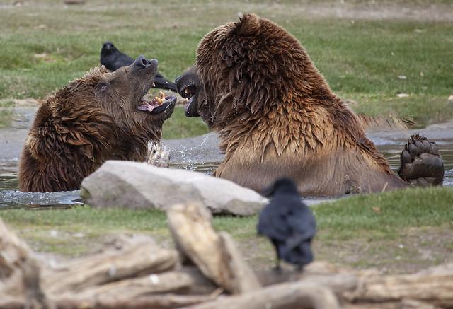 Yellowstone bears 3