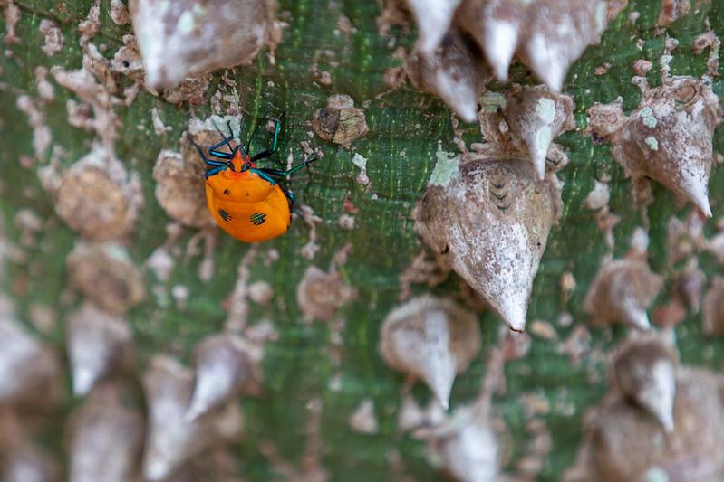 Cotton Harlequin Bug.