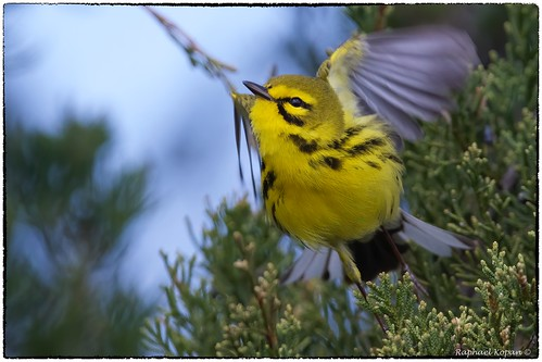 eastforklake raphaelkopanphotography nikon nature cincinnati d500 600mmf4evr 14xtciii warblers springmigration