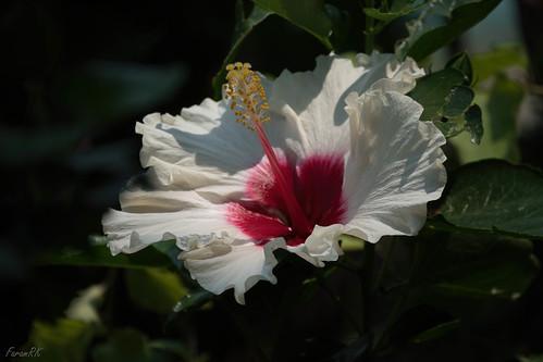 flower hibiscus siliguri westbengal india