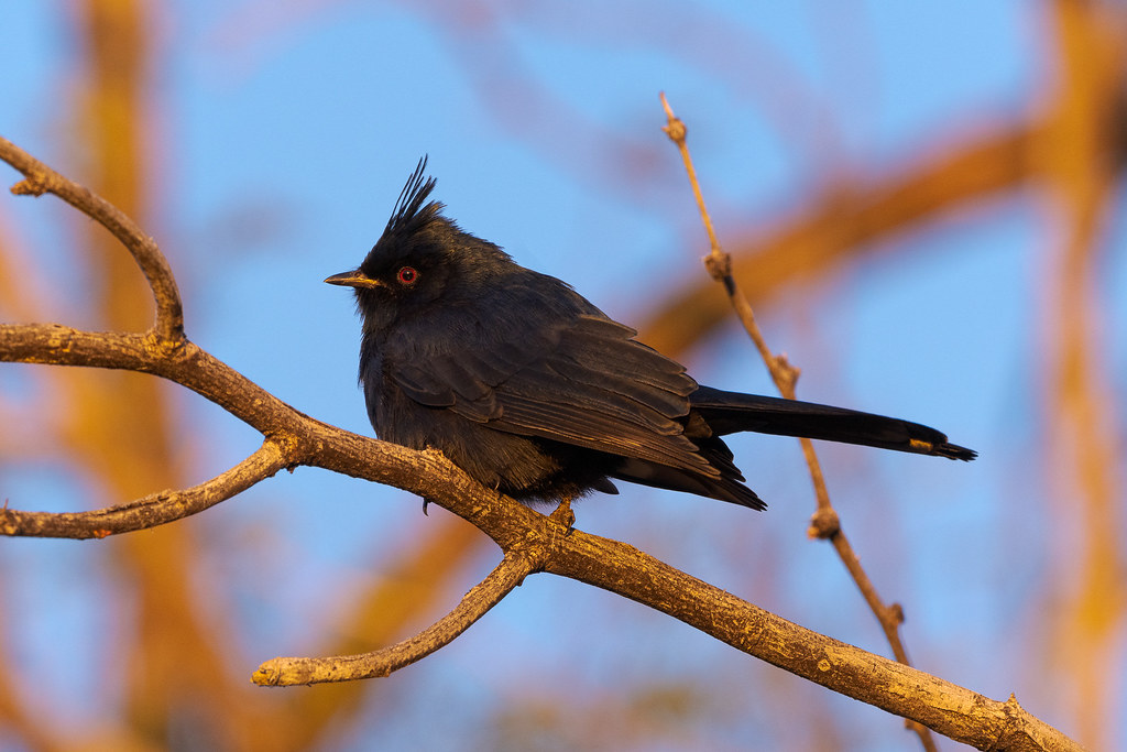 A male phainopepla perches in a tree early on a winter morning on the Marcus Landslide Trail in McDowell Sonoran Preserve in Scottsdale, Arizona in December 2019