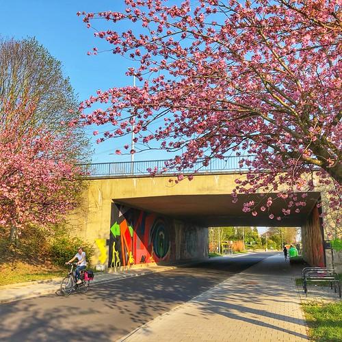 Roze bloesempracht langs de Oude Baan in Leuven