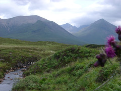 Purple Scottish thistle growing alongside a brook