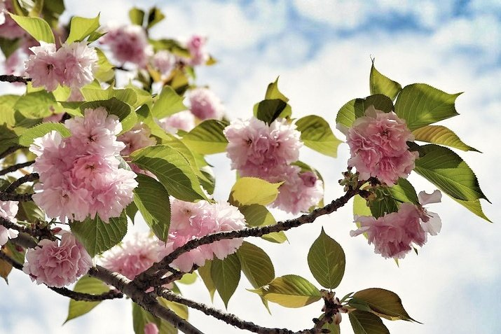 Kirsikankukkia ja poutapilviä