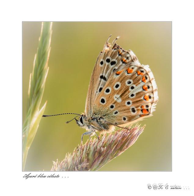 Azuré bleu céleste . . . -3539  f