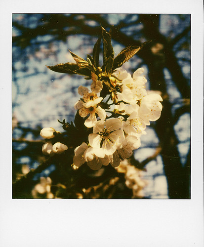 Cherry tree ...