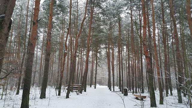 las bródnowski zimą