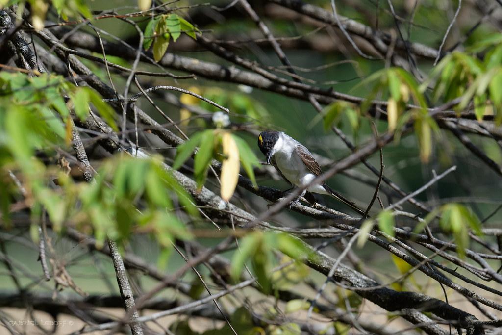 Fork-tailed Flycatcher Tyrannus savana - Tyran des savanes 6543_DxO