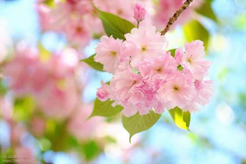 八重桜 20200419-DSCT8882 (3)