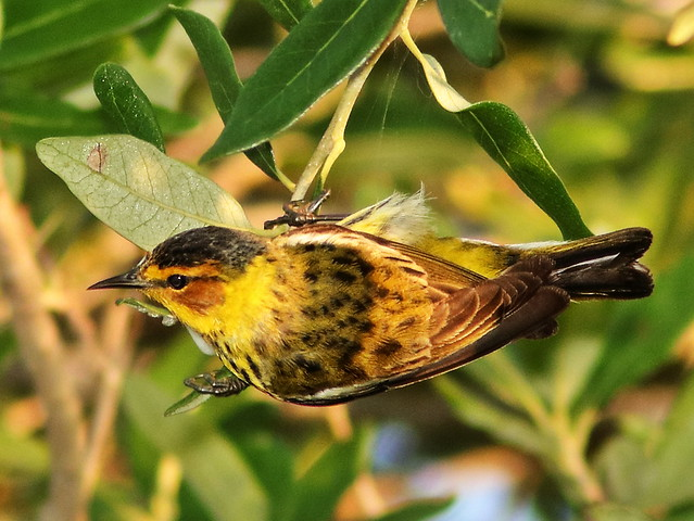 Cape May Warbler 02-20200419