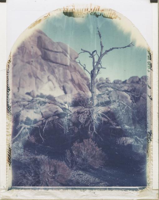 Joshua Tree No3