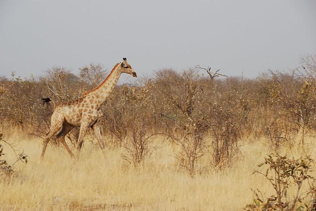 Botswana-Savuti_04-giraffa