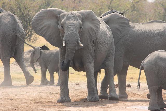 Botswana-Savuti_09_elefanti