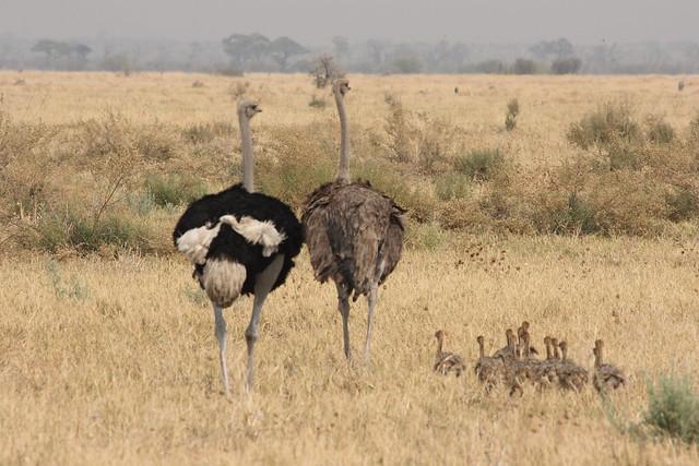 Botswana-Savuti_19-struzzi