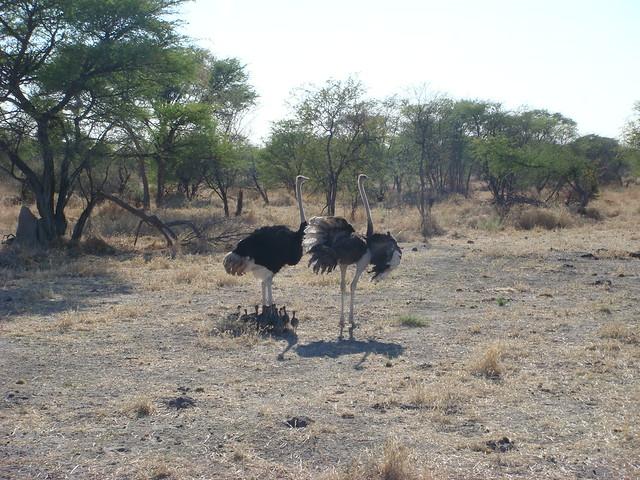 Botswana-Savuti_21-struzzi