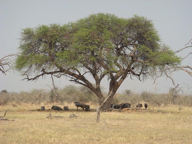 Botswana-Savuti_23-gnu