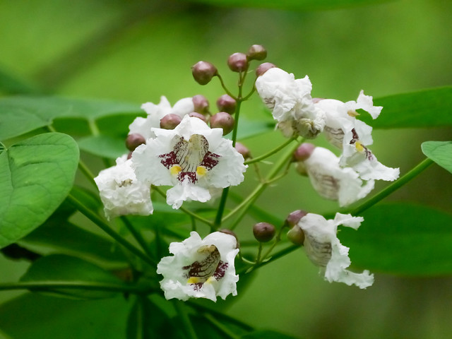 Catalpa Tree - 1 - 1
