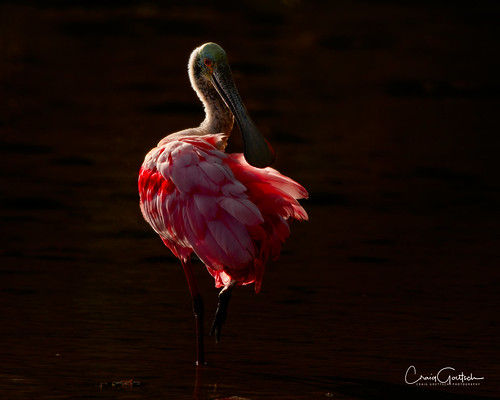 sanibel2019 spoonbill nature animal roseatespoonbill bird avian d500 wildlife nikon