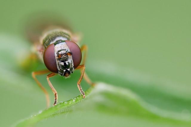 Schwebfliege | Hoverfly (Syrphidae)