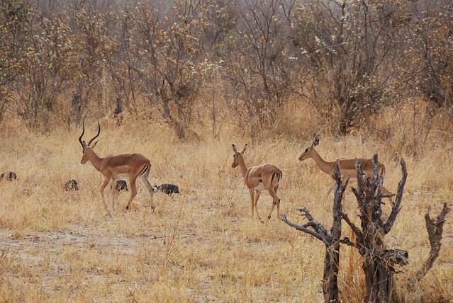 Botswana-Savuti_14-gazzelle