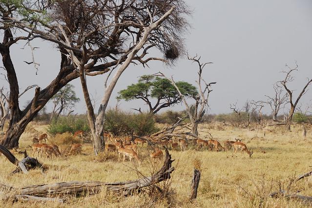 Botswana-Savuti_15-gazzelle