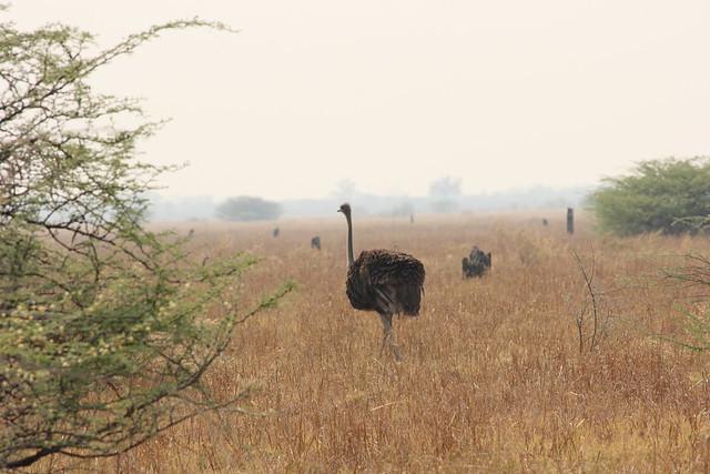 Botswana-Savuti_20-struzzi