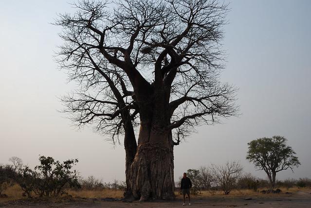 Botswana-Savuti_02-baobab
