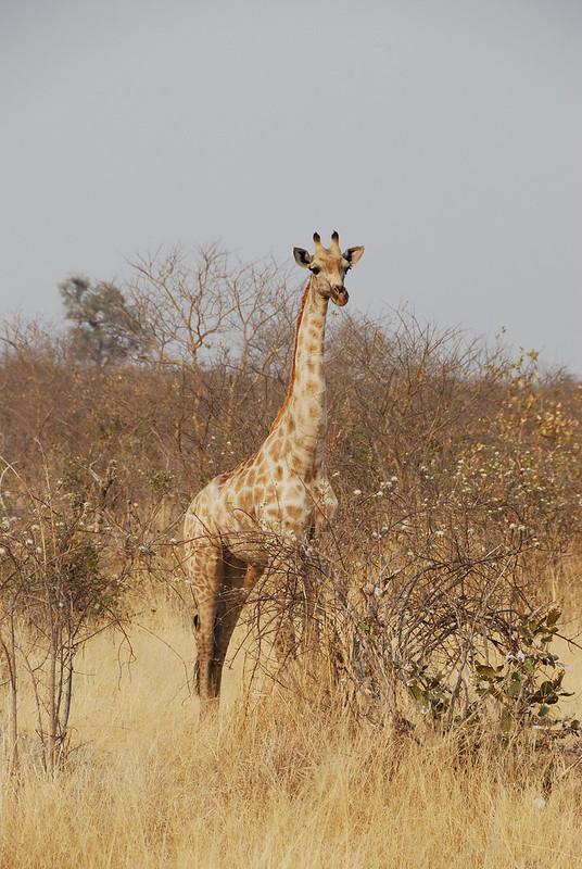Botswana-Savuti_05-giraffa