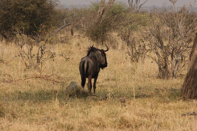 Botswana-Savuti_24-gnu