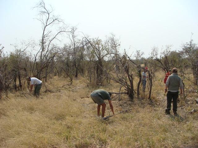 Botswana-Savuti_31-raccolta-legna