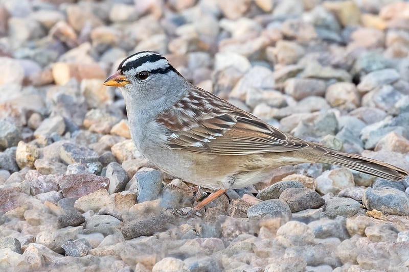 White-crowned-Sparrow-36-7D2-041420