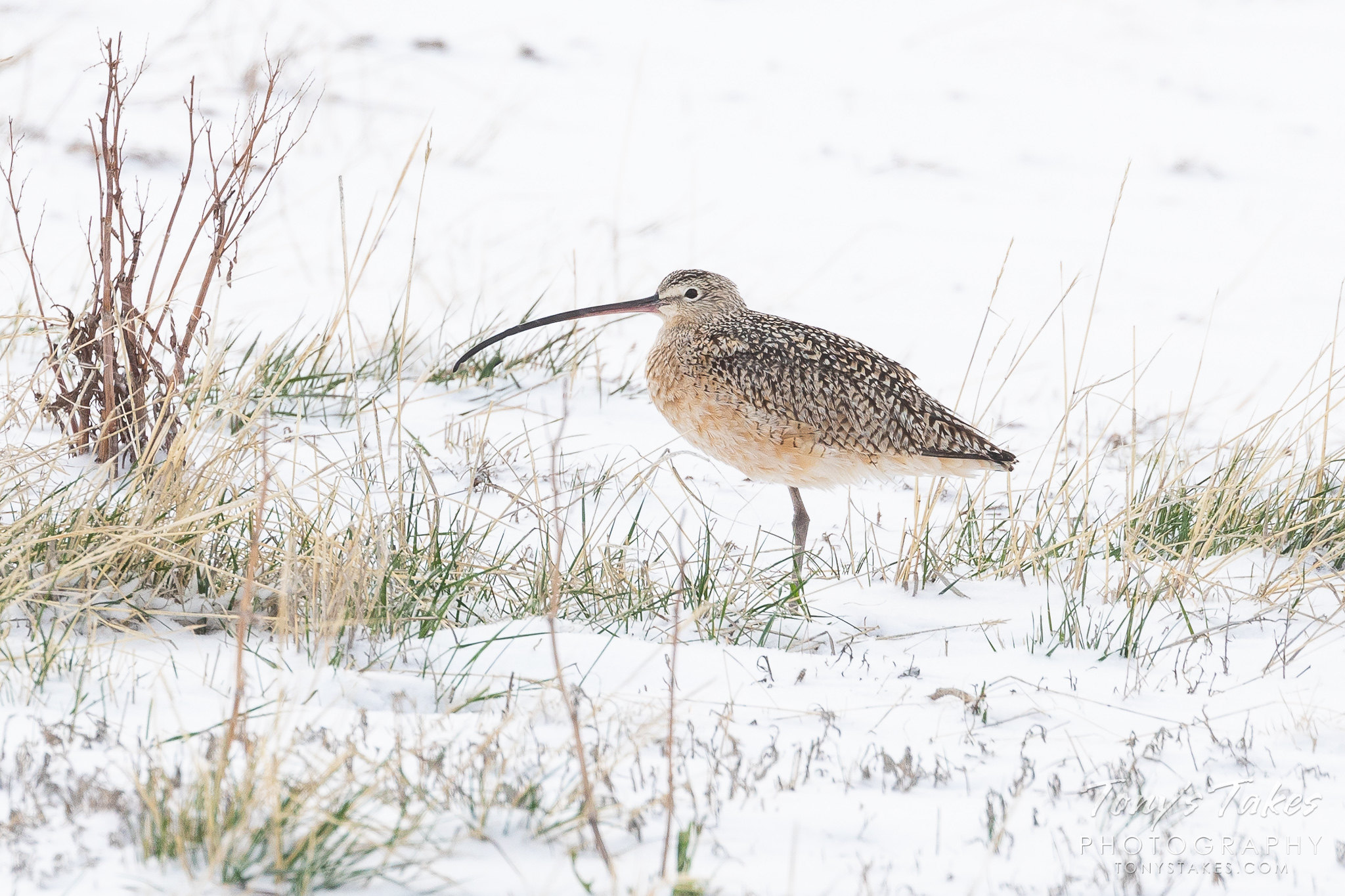 Long billed curlew in the fresh snow