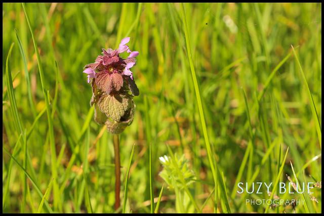 Red Dead-nettle
