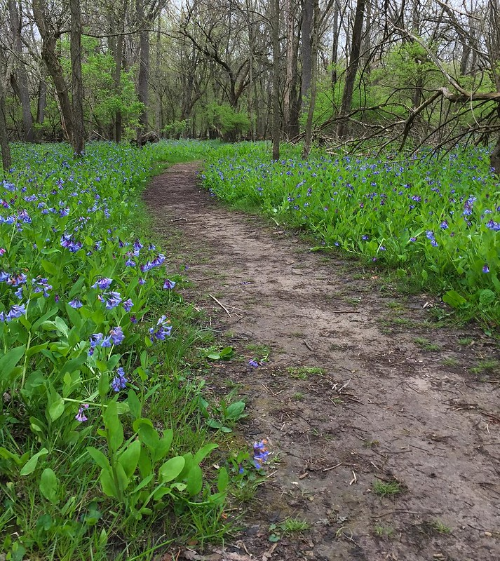 The sea of Bluebells welcomed us as royalty #shirleyhikes #seenonmyhike #forestspring #springwildflowers #bluebells #champaignforests #forestpreserve #covidspring