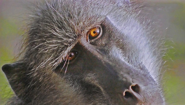 AFRICA - Baboon ... a little too familiar!