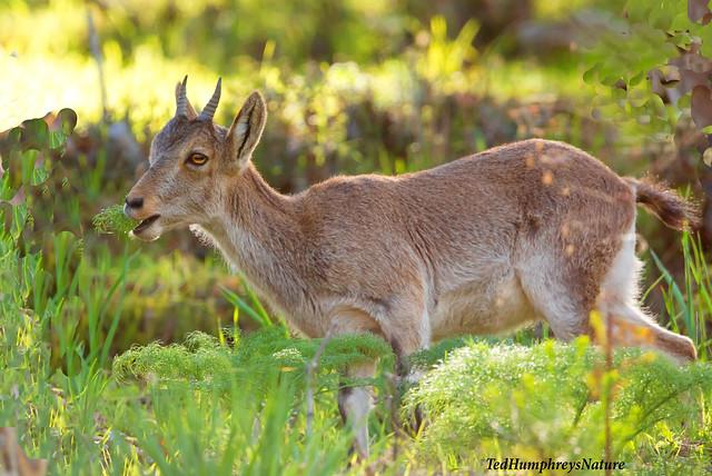 Young Ibex feeding in wood