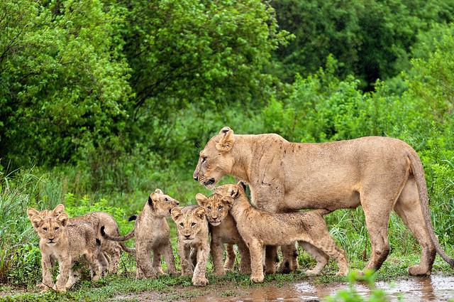 Scène 3 : Lionne et lionceaux de la Hluhluwe-Imfolozi Game Reserve en Afrique du Sud