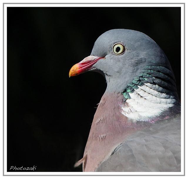 Pigeon Portrait