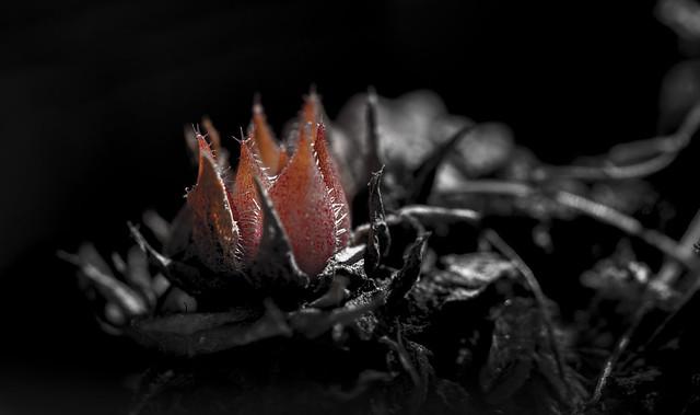 Steinblume / stoneflower