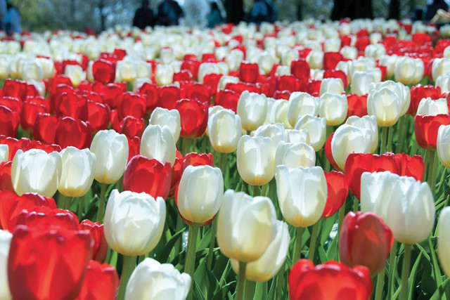red-and-white-tulips