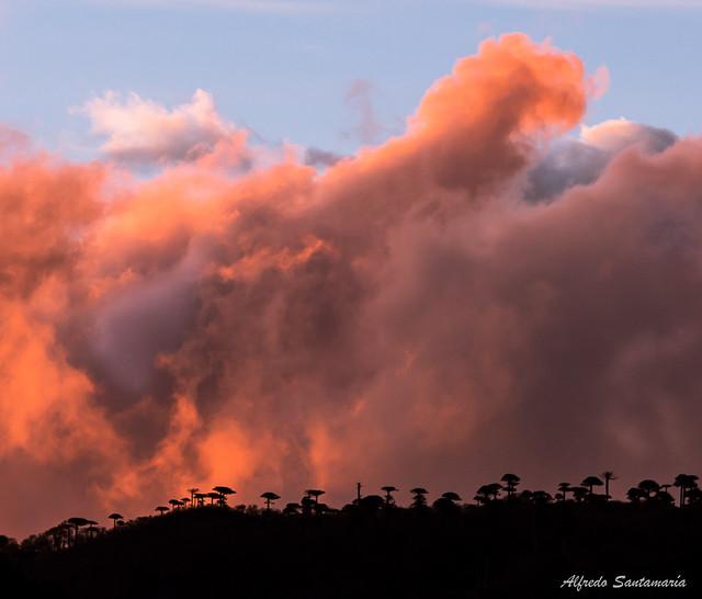 Araucarias y Nubes