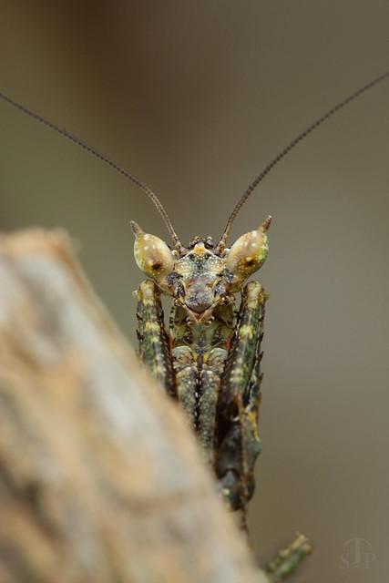 Portrait de Pseudacanthops spinulosa.